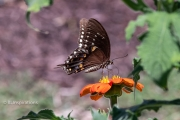Black Swallowtail Butterfly on Mexican Sunflower