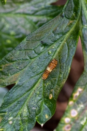 1st or 2nd Instar on Parsley