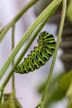 Black Swallowtail Caterpillar Ready to Pupate