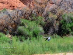 Great Blue Heron in Glen Canyon 2