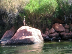 Great Blue Heron in Glen Canyon 3