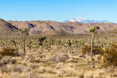 Stand of Joshua Trees 2