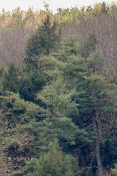 Bald Eagle near Letchworth Park Upper Falls