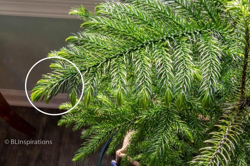 Norfolk Pine branch