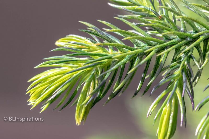 Norfolk Pine Branch Tip