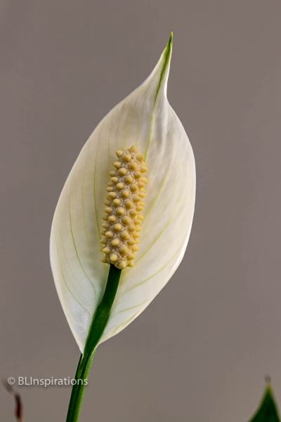 Peace Lily 4