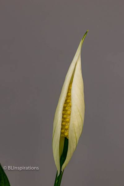 Peace Lily 2