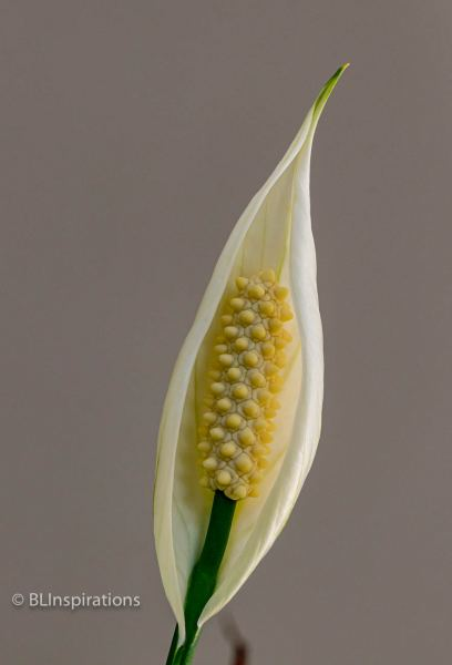 Peace Lily 3