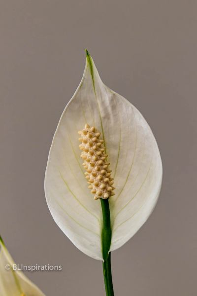 Peace Lily 5