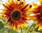 Sunflowers Noe Card