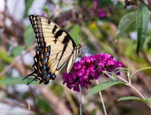 Eastern Tiger Swallowtail Butterfly Note Card