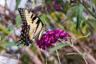 Eastern Tiger Swallowtail Butterfly, Female
